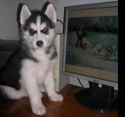 Продам щенков породы сибирский хаски,