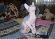 Продаю котят донского сфинкса.