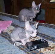 Продаю котят породы донской сфинкс с документами.