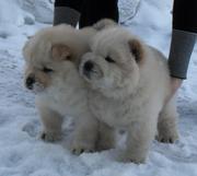 чау-чау кремовые щеночки в Барнауле