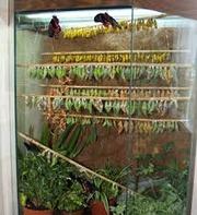 Высоко прпбыльный бизнес ферма Живых Ярких Бабочек  из Чили