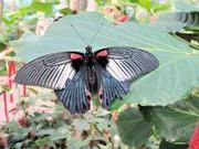 Высоко доходный  бизнес ферма Живых Тропических Бабочек  из Тайланда