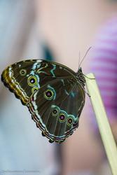Высоко доходный  бизнес ферма Живых Экзотических Бабочек  из Южной Америки