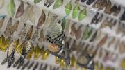 Бизнес под ключ с  доходностью 500% Ферма Живых Тропических Бабочек